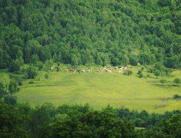 Vite la pășunat în satul Bucium